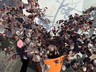 Loropetalum-plant
