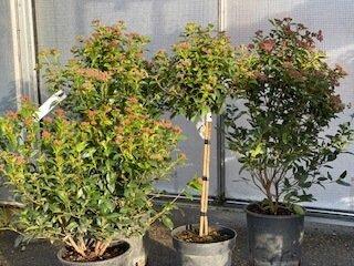 Viburnums-plant