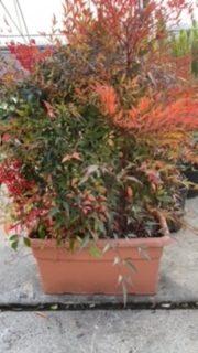 nandina-plant